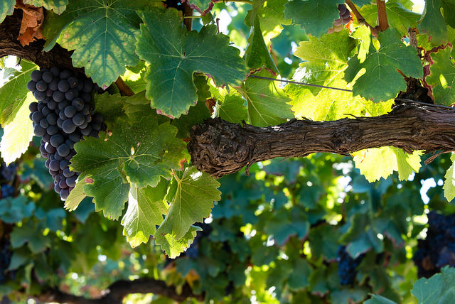 Les vignes du domaine de la Vernède